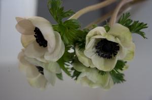 anemone raw