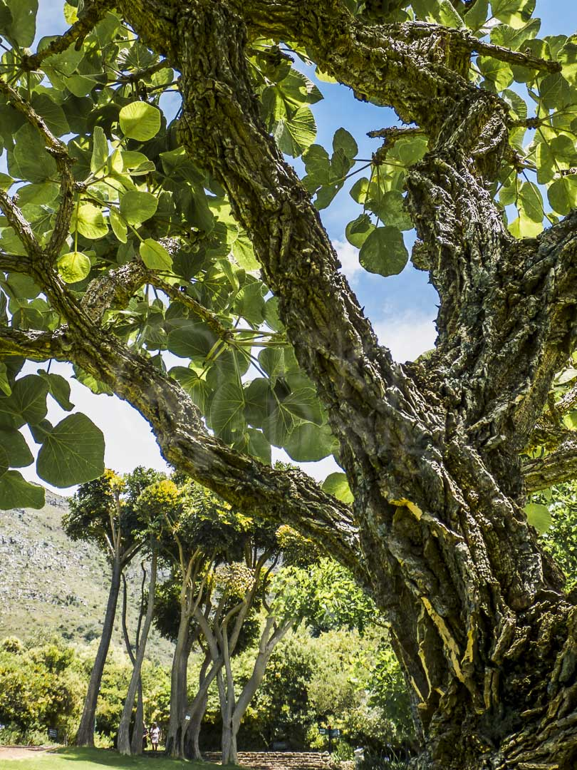 CARVED BARK - Kirstenbosche Botanical Gardens, Cape Town, SA