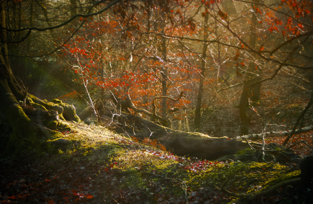 A MAGICKAL FOREST - Ashridge Forest in Autumn is amazingly magickal!