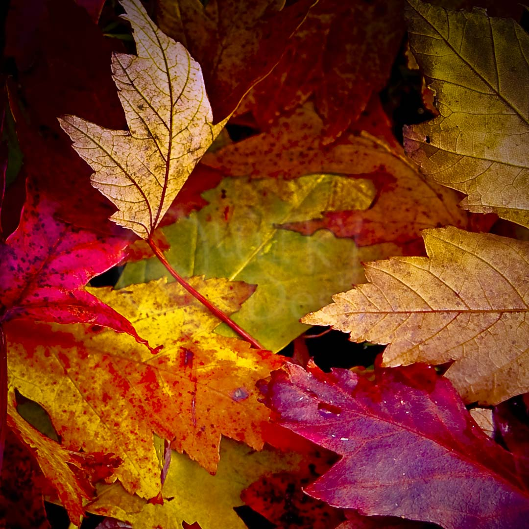 LEAF MEDLEY - Fiery leaves of autumn
