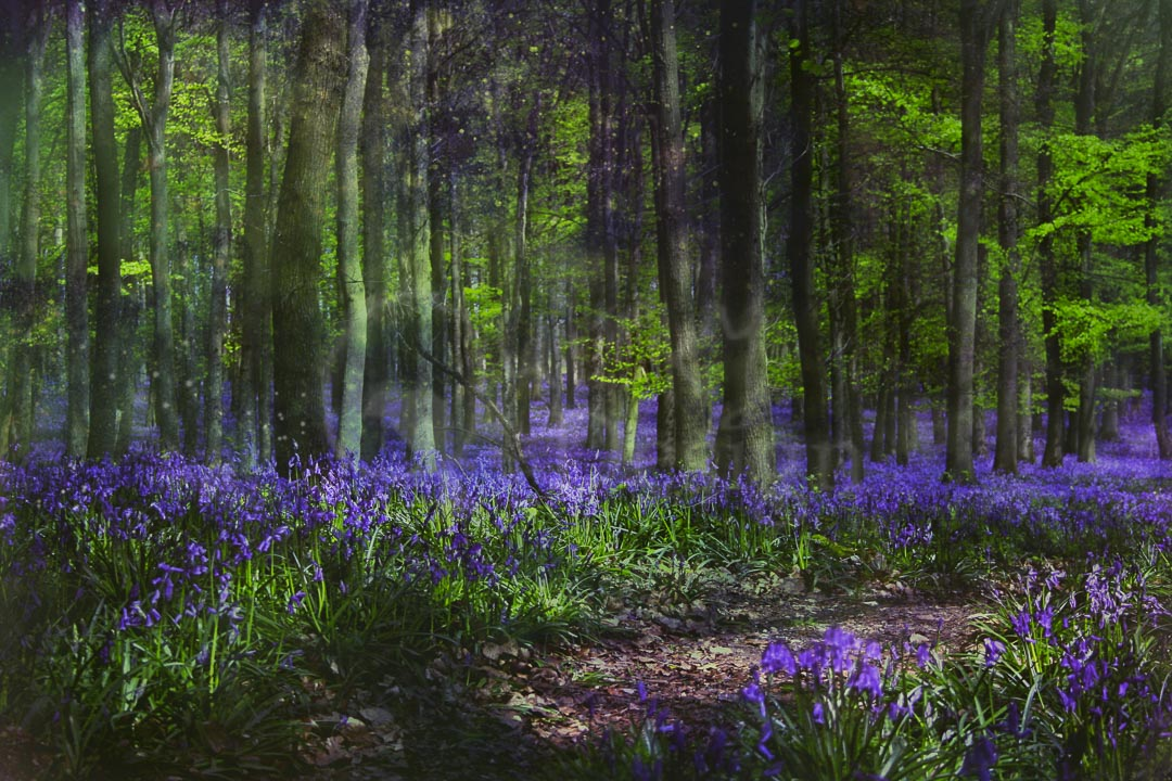 MAGICKAL BLUEBELLS - Ashridge in Spring are famous for their bluebells