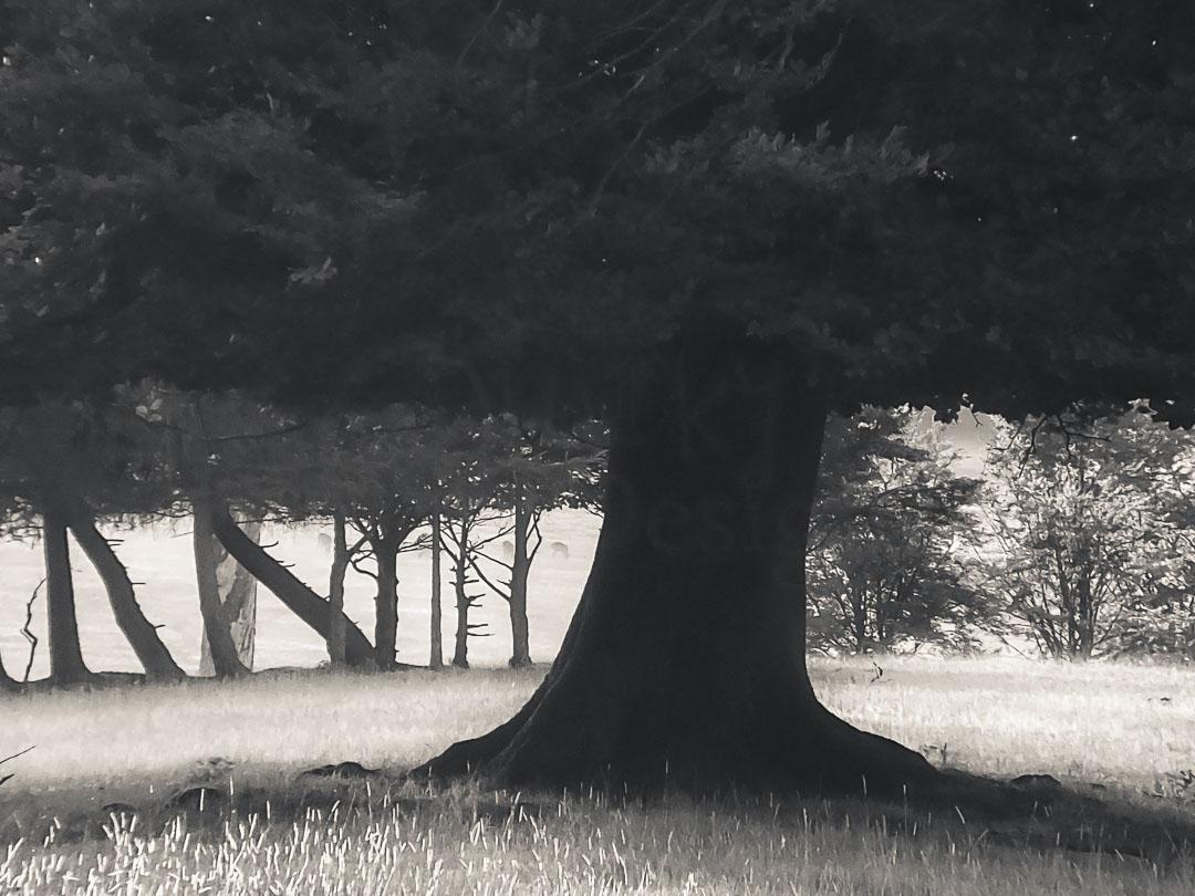 MISTY TREE - Ashridge Forest