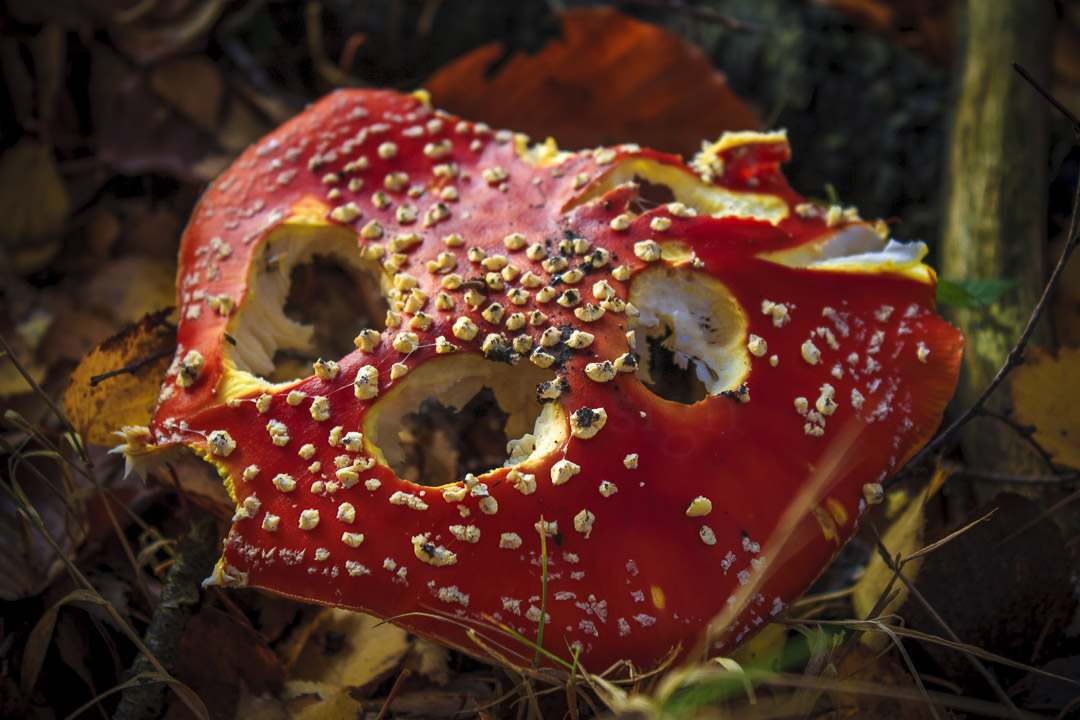 MUNCHED ON - Amanita muscaria, food for the wee folk