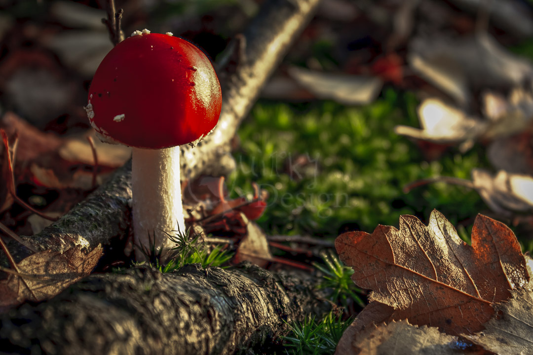 RED TOADSTOOL - Amanita muscaria or Fly Agaric