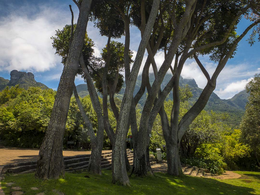 WONKY TREES - Taken in Kirstenbosch Gardens Cape Town South Africa
