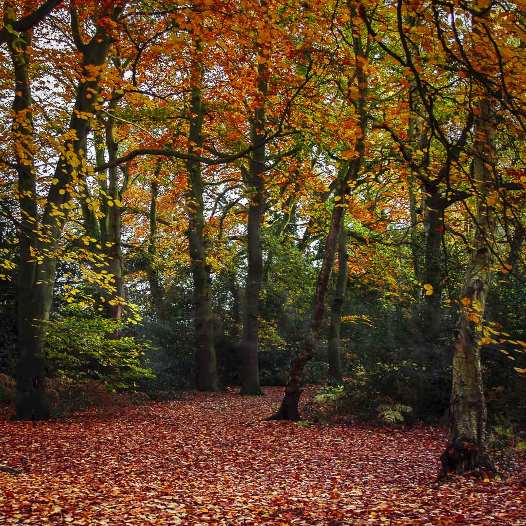 GLORIOUS AUTUMN - In Cooper Hill Woods, Ampthill, Bedfordshire