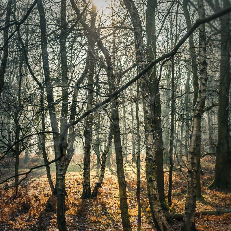 MISTY BIRCHES - Ashridge when Autumn turns to Winter
