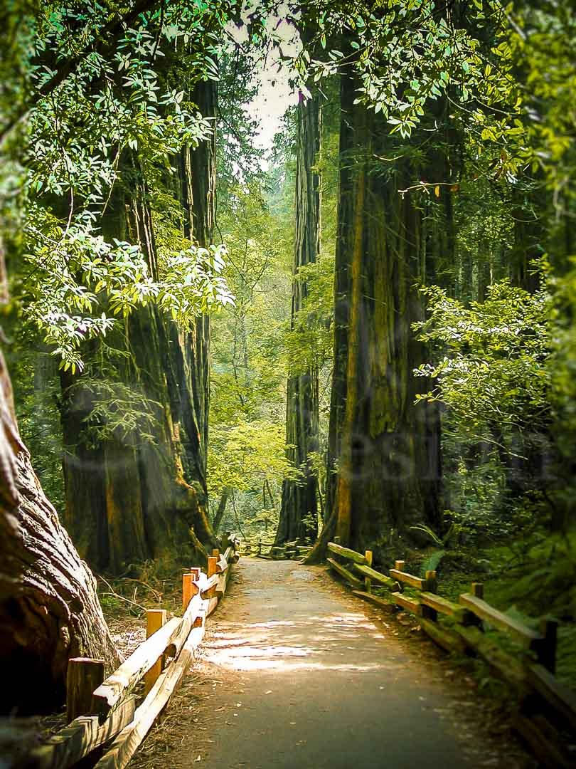 REDWOOD GIANTS - Muir Woods, San Francisco.
